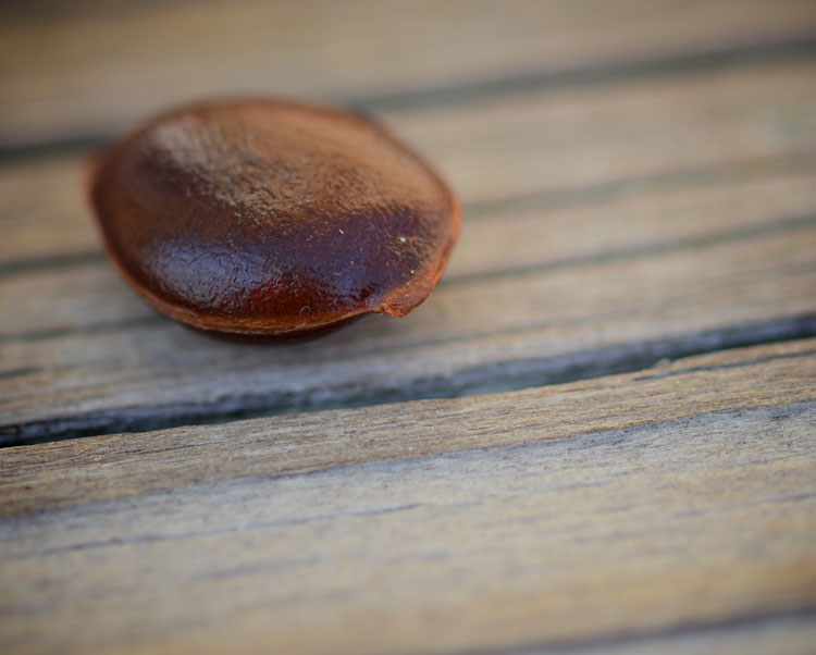 Did you know a persimmon seed can predict the weather? Folklore says they can let us know if it will be a snowy winter.