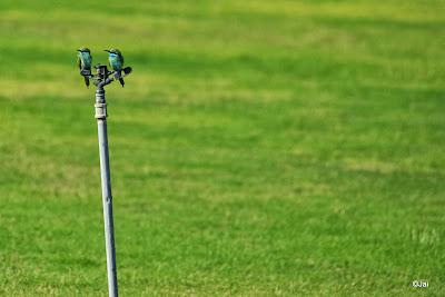 Bee-eater @ Dubai Pivot field