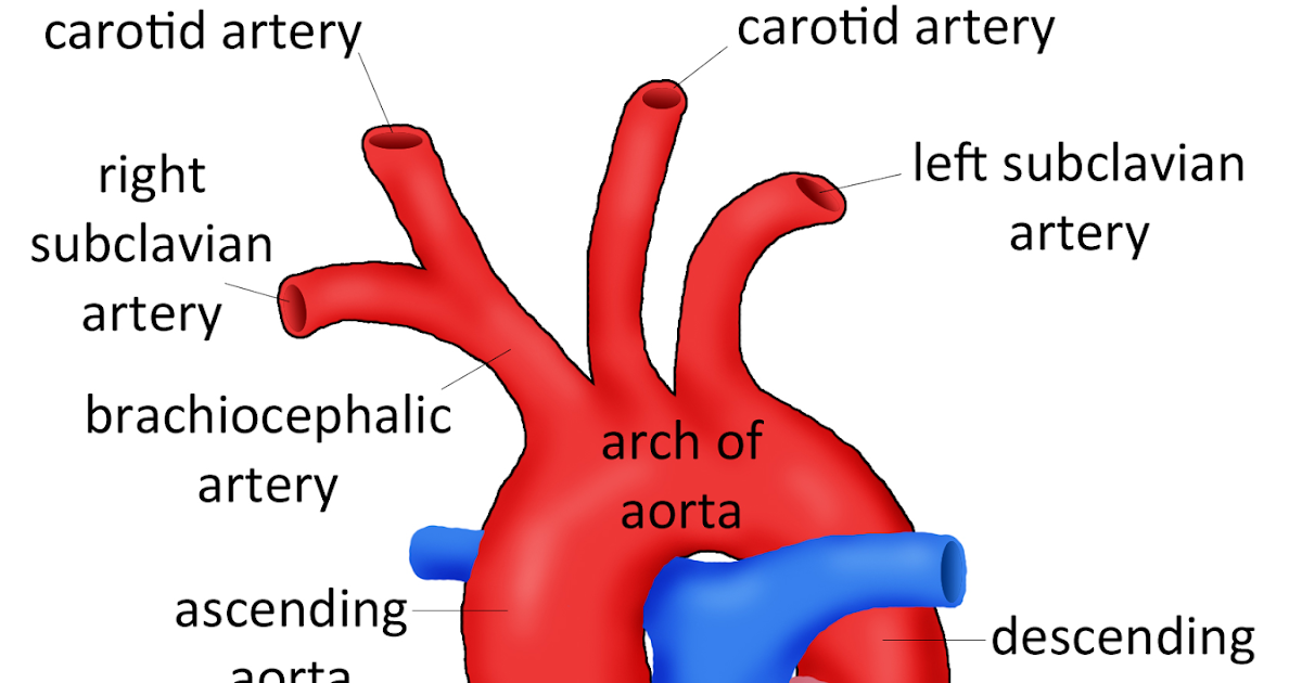 Old Fashioned Aorta And Its Branches Anatomy Images - Anatomy And ...
