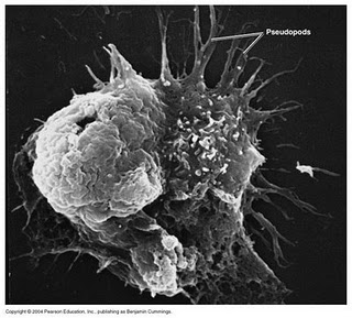 Naegleria flowleri amoeba