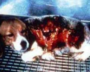 Figura 2. Experimento com Produto Corrosivo em Cão