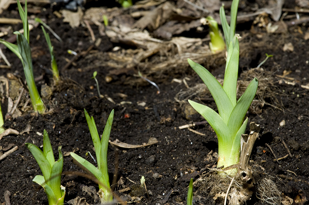 good planting daylilies Part - 5: good planting daylilies gallery