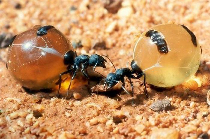 las hormigas: