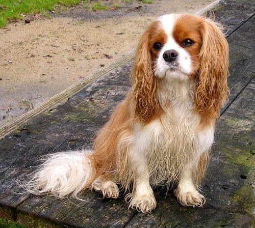 små hunde til salg jylland