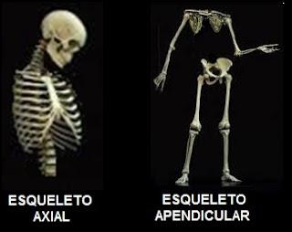 esqueleto axial esqueleto apendicular