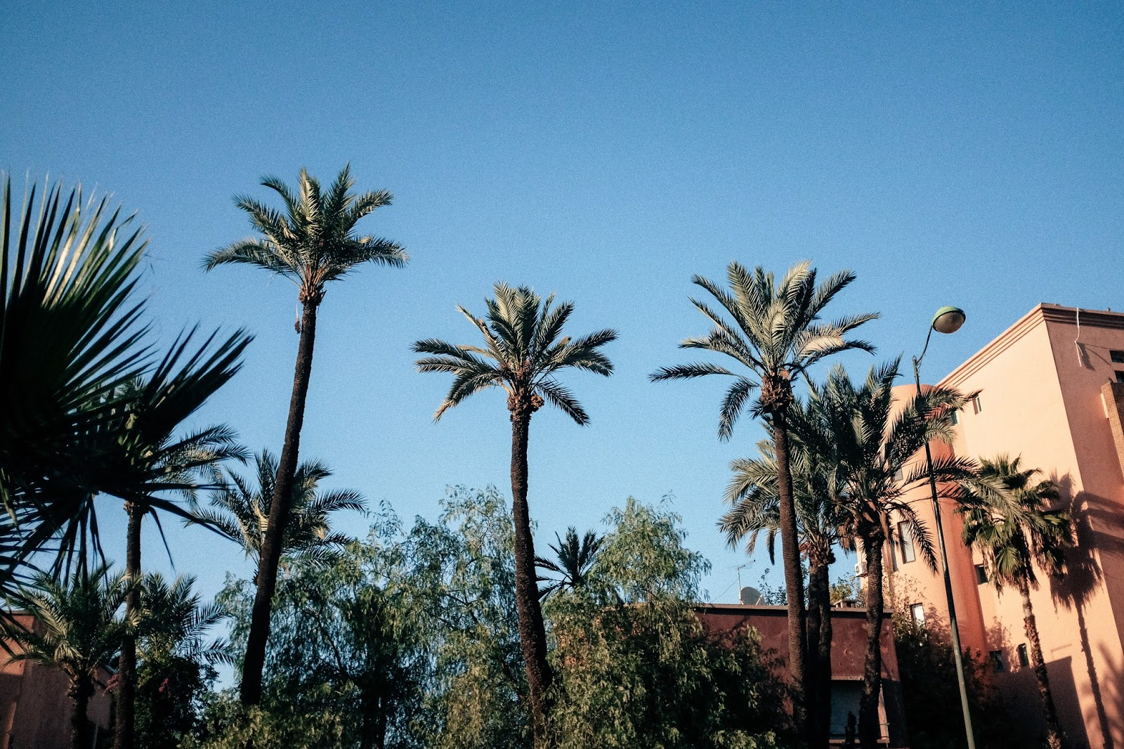 Palm tress in Marrakech Morocco