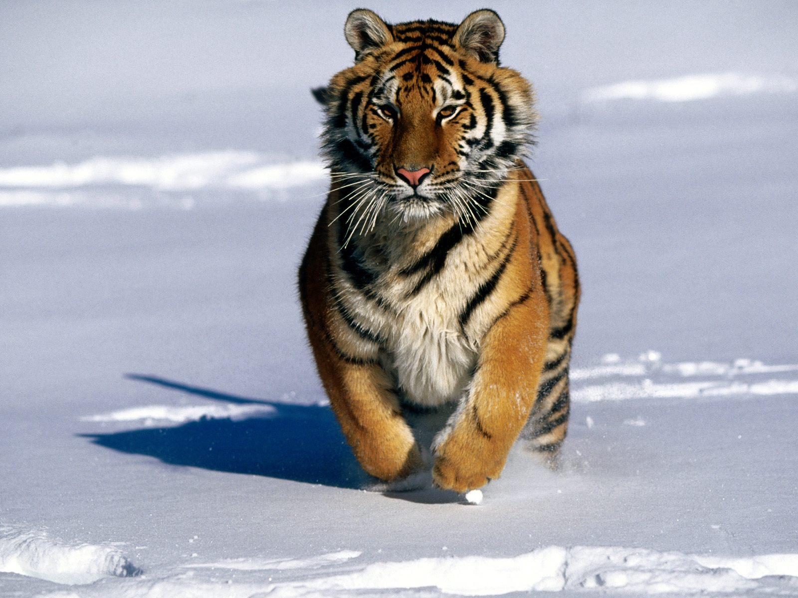 http://3.bp.blogspot.com/-pfddAnxFomg/UFXwiYmdPUI/AAAAAAAAEOc/fCi7QgkL8BU/s1600/Charge+Siberian+Tiger.jpg