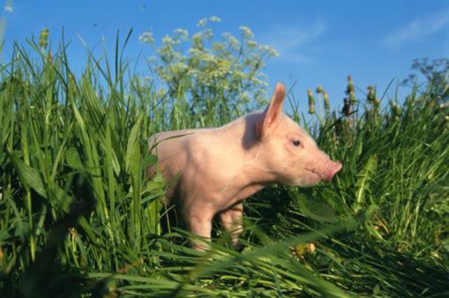Keloio infos juin 2012 - Image de cochon mignon ...