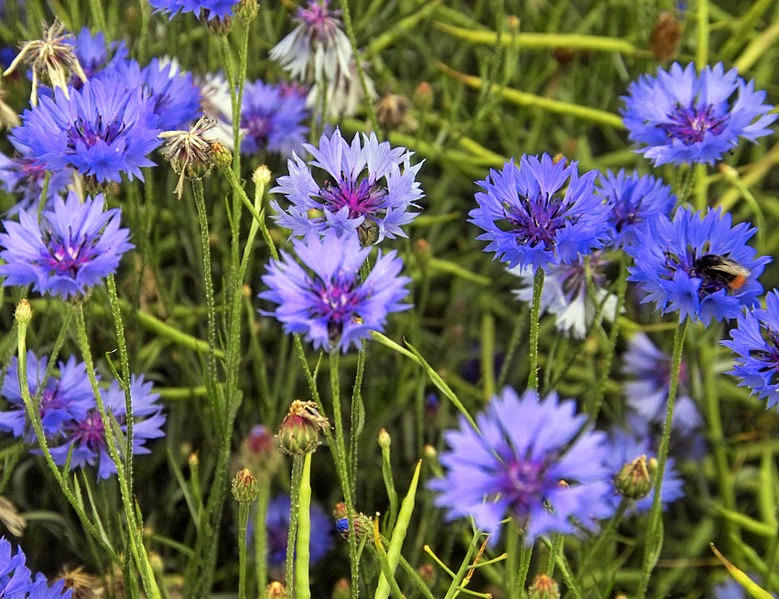 Balkan ecology project definitions of annual biennial perennial centaurea cyanus cornflower mightylinksfo
