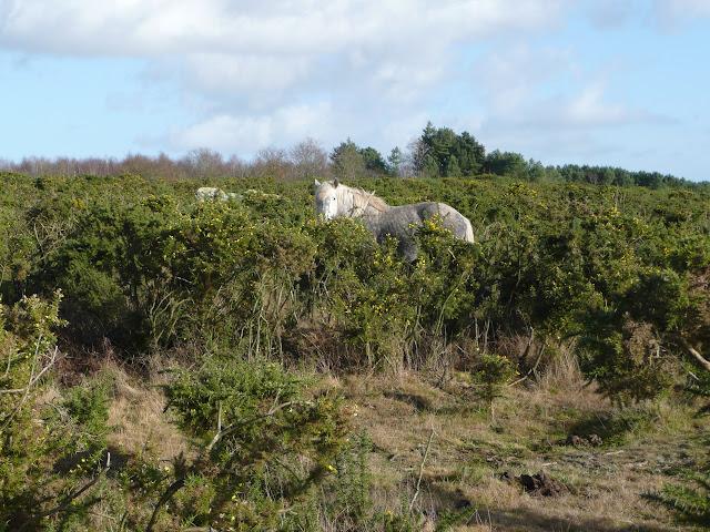 Sur le site mégalithique de St Just, les chevaux mulassiers entretiennent les landes