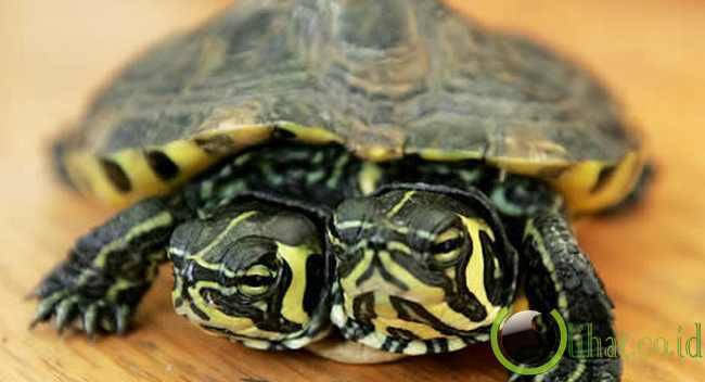 Kura-kura berkepala dua