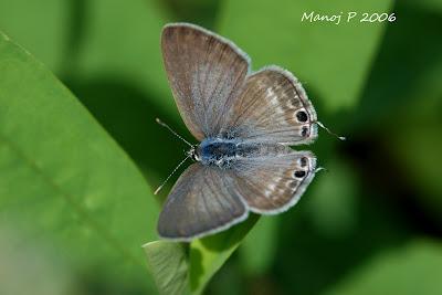 Gram Blue Butterfly
