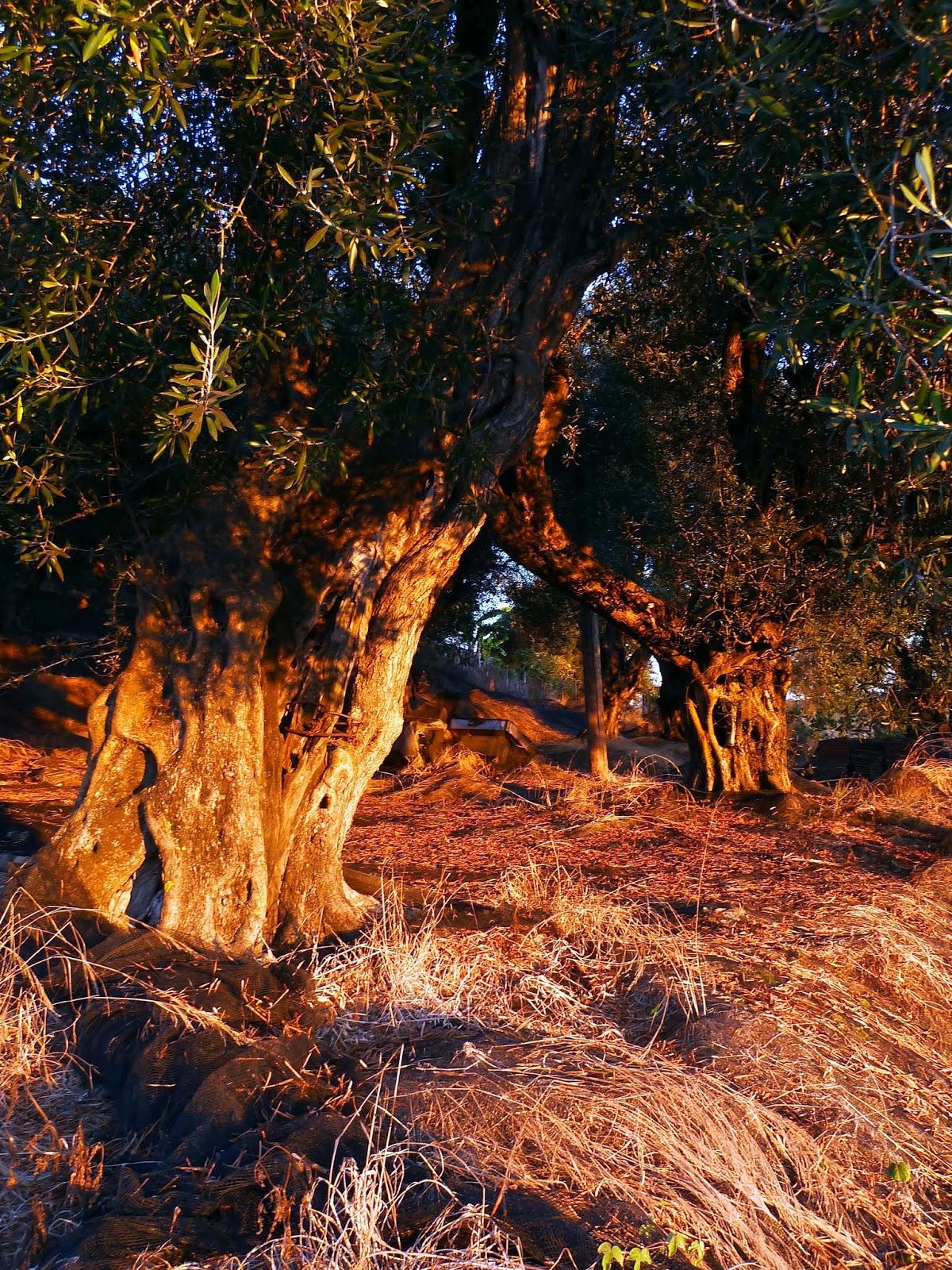 Olivenhain im Nordwesten von Korfu