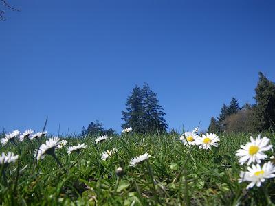 Blooming field in spring / dumbrava cu flori de primavara
