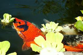 Feeding koi how feed koi what to feed koi when to feed for Can you eat koi fish