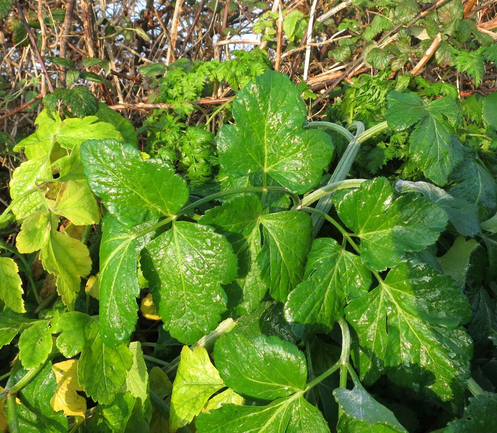 Alexanders leaves glistening in the sunshine where the frost has melted.