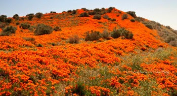 Antelope Valley California Poppy Reserve Lancaster