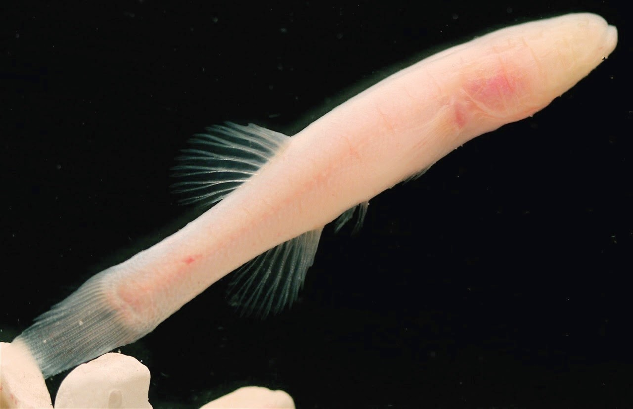 http://sciencythoughts.blogspot.co.uk/2014/06/a-new-species-of-blind-cavefish-from.html