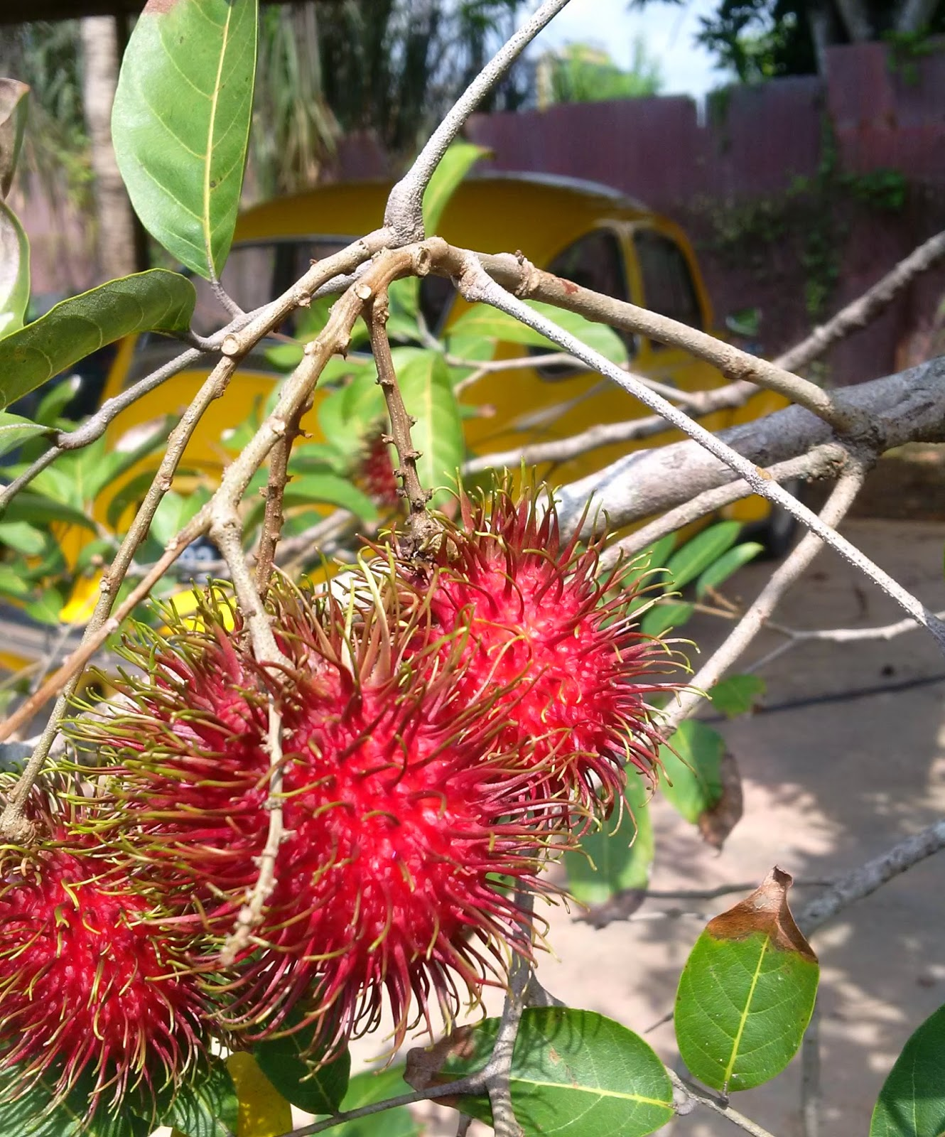 rambutan fruit, hairy fruit, rambutan malaysia, rambutan taste, rambutan benefits, rambutan recipes, gardening, food,