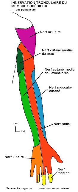 anatomie :Nerfs axillaire, cutané médial du bras, cutané médial de l'avant-bras et innervation sensitive tronculaire du membre supérieur Sensitif+tronculaire+arrie%25CC%2580re