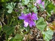 Malva en flor, una de las más potentes anti-inflamatorias