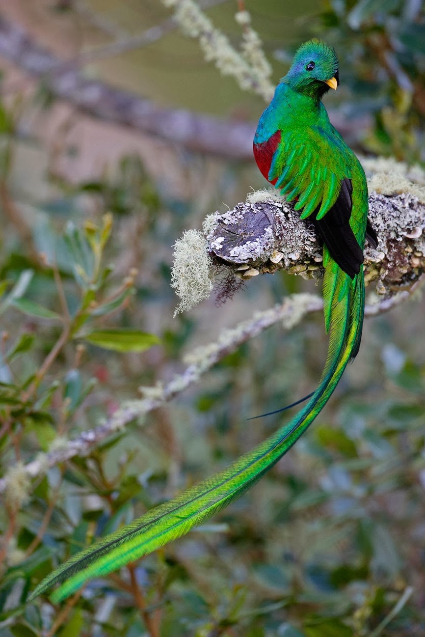 the quetzal Caravan quetzal: with inherently high health, stamina, and carry weight, the quetzal makes for a reliable pack-mule animal with over 1,500 stamina, a quetzal can speed across the map and with high health, a quetzal could potentially take on carnivorous road-blocks.