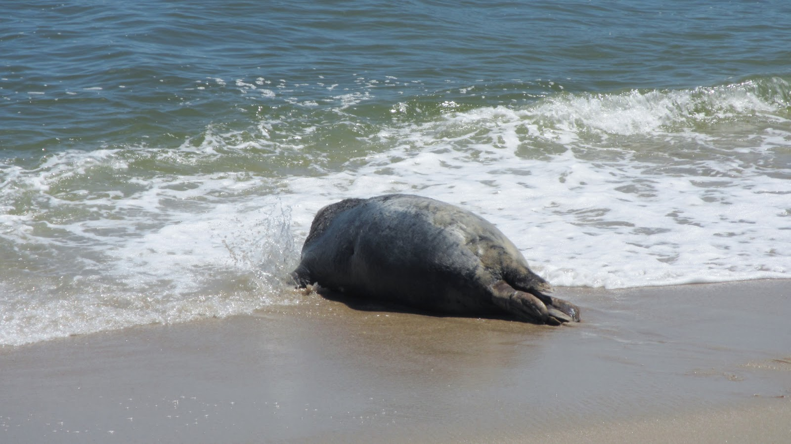 Nature on the edge of new york city grey seal released at for Seal beach fishing
