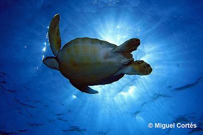 Vista inferior de una tortuga verde