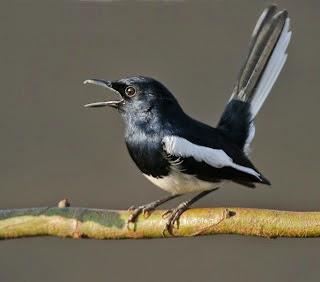 Gambar Cara Merawat Burung Kembang Waru