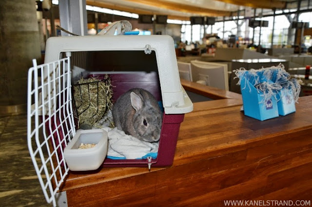 Rabbit at the airport