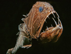 Fangtooth Fish - Hewan Teraneh 1