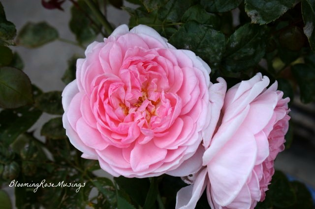 how to keep your garden roses blooming
