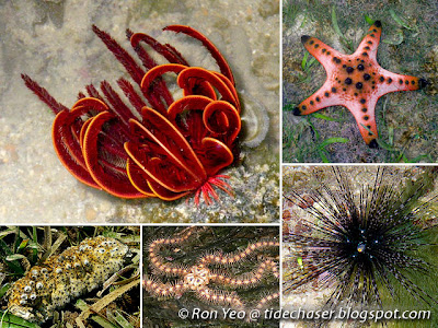 Echinoderms (Phylum Echinodermata)