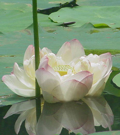 Enjoy the fragrance of flowers spiritual qualities of the lotus flower the lotus is the national flower of both vietnam and india in india the lotus flower has made its way deep into religious beliefs and in national folklore mightylinksfo
