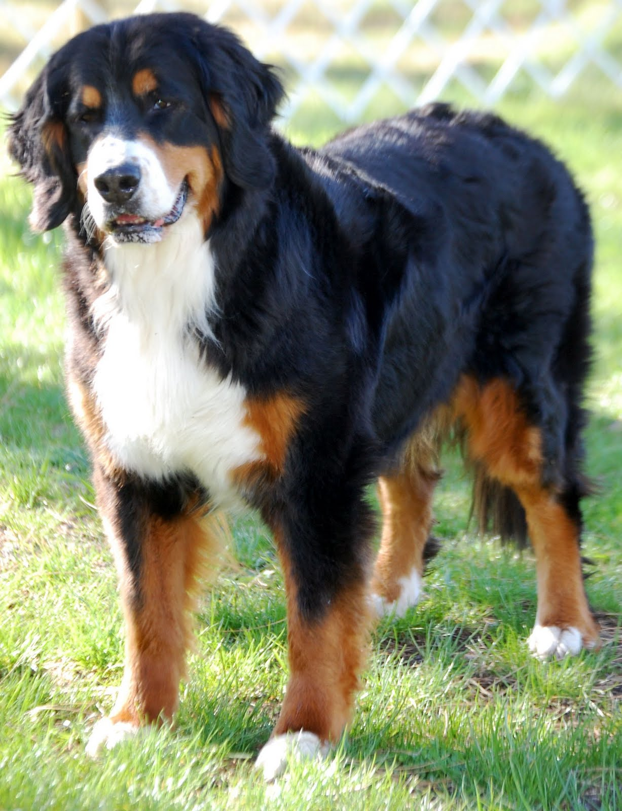kaibab bernese mountain dogs may 2011. Black Bedroom Furniture Sets. Home Design Ideas
