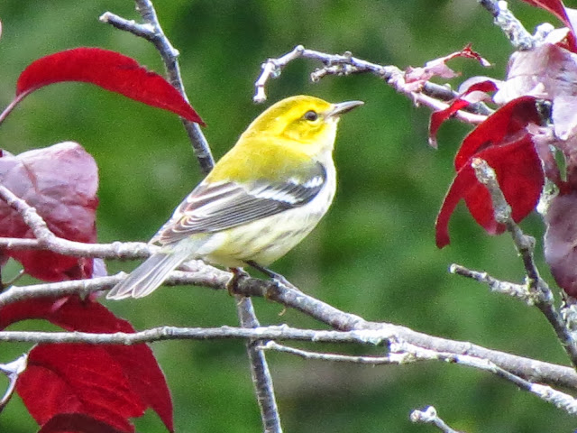 black throated green warbler two