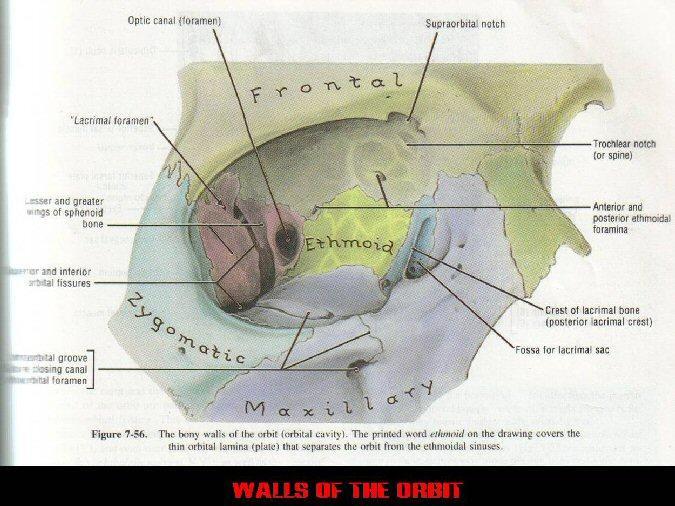 Orbital bone anatomy