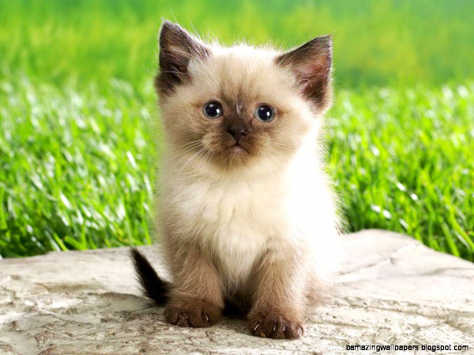 Super Cute Persian Kitten   Really Cute Stuff