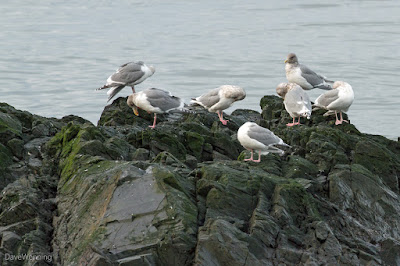 Preening Gulls at Deception Pass