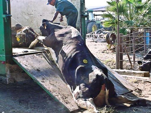 cow getting dragged