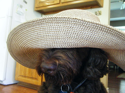 Close shot of Alfie's head wearing my giant straw gardening hat, which is covering all but his snout