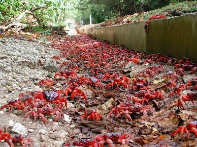Cangrejo Rojo (Gecarcoidea natalis)