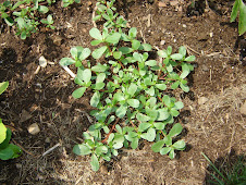 Purslane Naturally High in Omega 3's