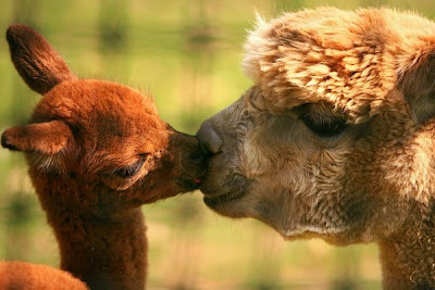 Animal love funny kissing photos