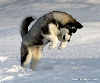 Siberian Husky in the Wild