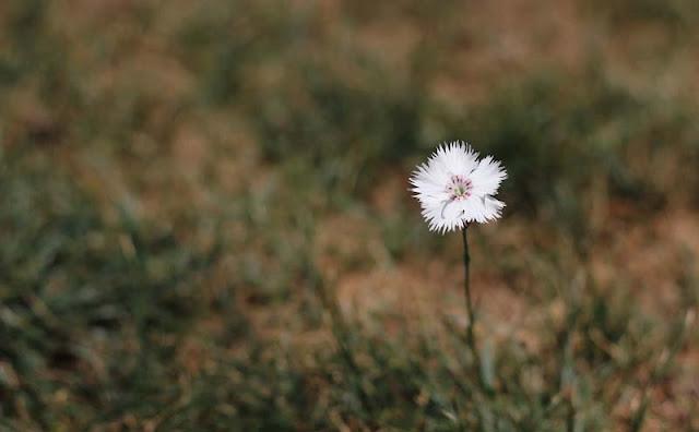 Dianthus Plumarius Flowers Pictures