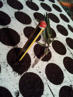 Lavandula officinalis, sinonimi su Lavandula angustifolia,Lavandula vera