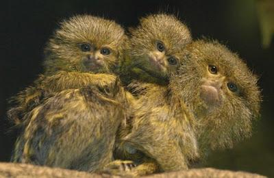 Monyet Terkecil di Dunia