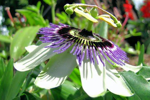 Fotos de nuestros usuarios I (Flor de Maracuyá)