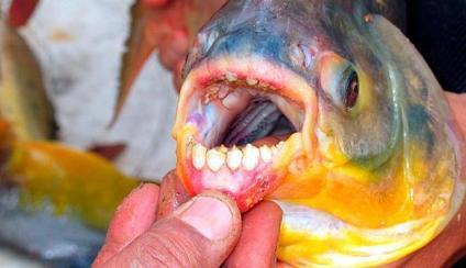 ikan pemakan buah zakar